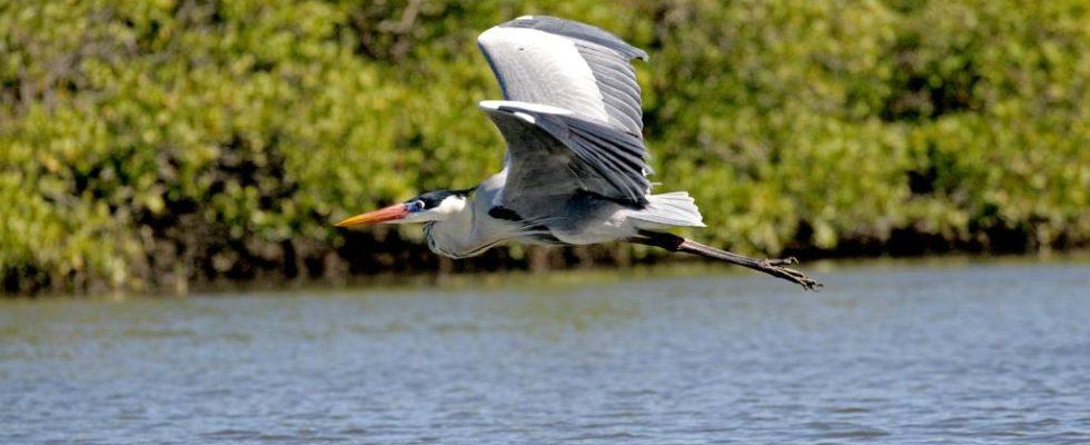 Garça-moura fotografada por Anselmo Malagoli está no Guia de Aves da Estação Ecológica de Carijós publicado pelo ICMBio.