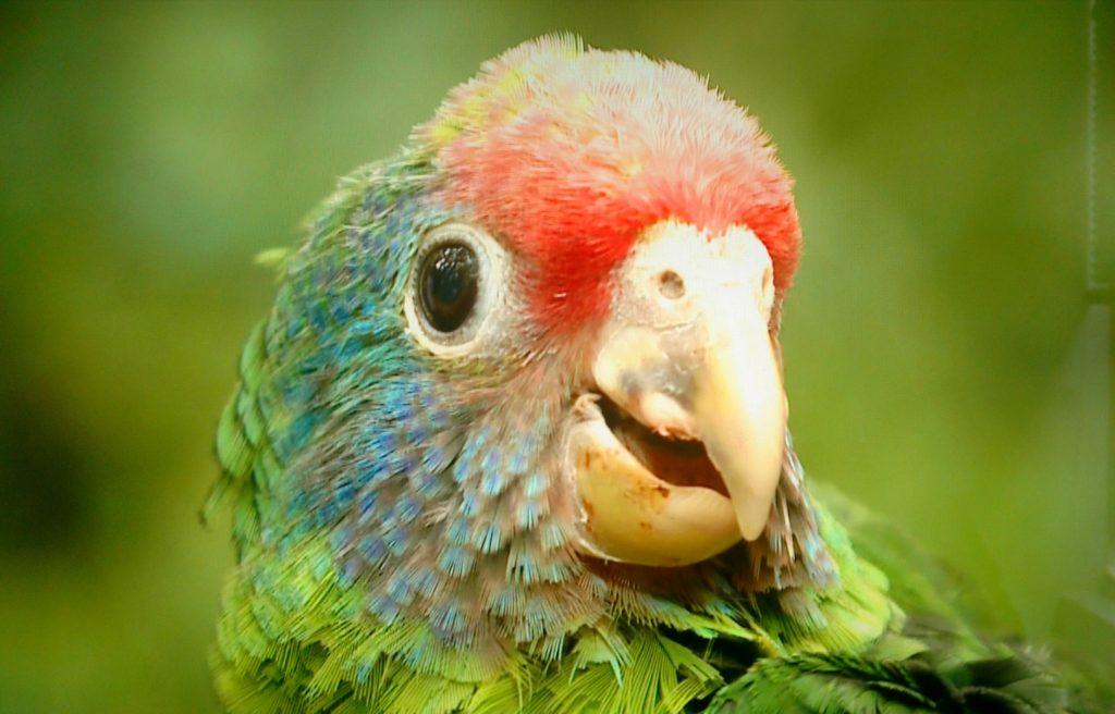 Papagaio-de-cara-roxa Foto Gislene Bastos