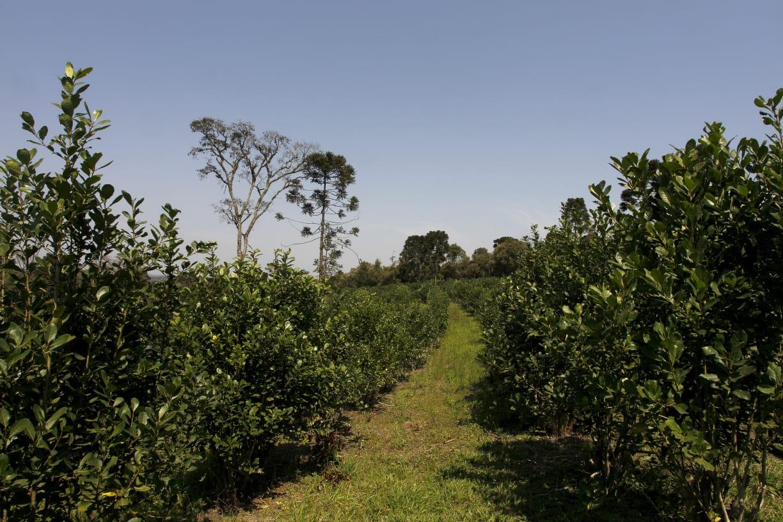 sistemas de cultivo de erva-mate plantada